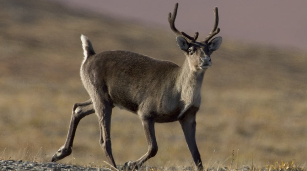 Observe reindeer
